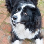 Ted the Collie Dog