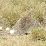 An ostrich on her eggs