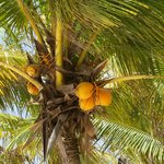 Coconuts right outside your door