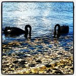 Black swans are normally found in pairs - here they are foraging for food.