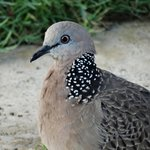 spotted doves (there are many)