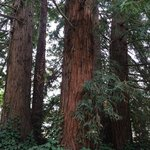 A cool little grove of redwoods in the yeard