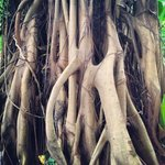 Interesting roots of a Johor Fig tree