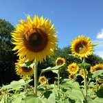 Field of sunflowers in the surrounding area