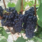 Plump grapes nearly ready for harvest.