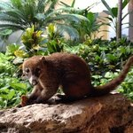 One of Many Coati's On the Grounds