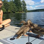 Ducks trying out paddleboarding