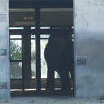 Elephant inside barn--spends 16 hours a day there