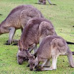 Lots of kangaroos