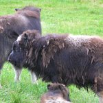 Photo of Musk Ox Farm