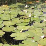Water Lillies in the River.