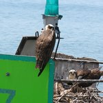 Osprey, as viewed from boat