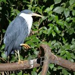 Herons roost in the Bird House