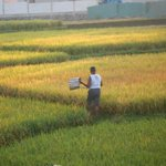 In late Aug. 2014 the rice seed were ready for harvest and were yellow not green, and the owners