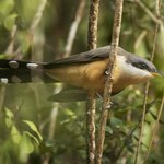 The Mangrove Cuckoo can be found on the Anse Chastanet estate