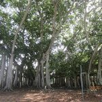 Banyan Tree at Edison/Ford Estates