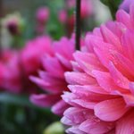 Dahlias in flower garden