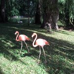 Flamingos walking around near the pond