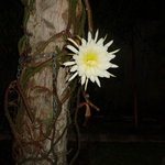 Gorgeous Night Blooming Cactus