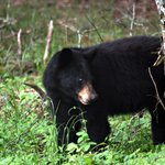 Black Bear - Elkmont Campground
