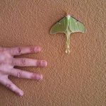 We saw this luna moth on the wall in the stairwell, they grow 'em big in Western Mass!