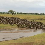 A wildebeest crossing