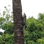 """Jack"" the Iguana climbing his favorite palm tree at Blue Surf"