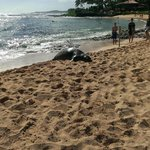 Endangered Monk Seal Female V06 born in 2008 right on Popiu Beach next to Marriot