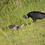 Soft Shelled Turtle and Turkey Vulture