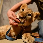 Got some lion cubs in for our staff to photograph with them