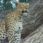 Female leopard sighting - pm game drive