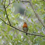 Robin Red Brest in the local bush
