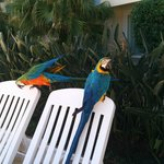 Macaws at the swimming pool