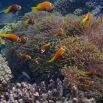 Lots of clown fish at the reef