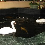 Swans in the lobby