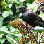 tūī enjoying flax nectar