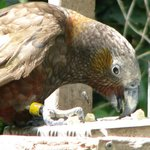 kākā snacking