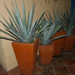 Pic of Agave Tequilana in pots