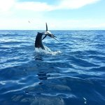 One of many sailfish caught