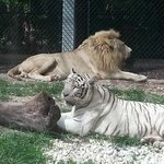 white tiger & lion