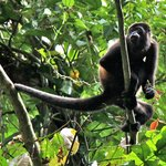 Howler monkey - trail to the waterfall
