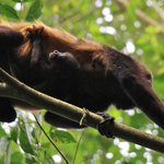 Howler monkey carrying a baby