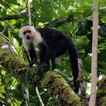 Capuchin monkey - trail to the waterfall