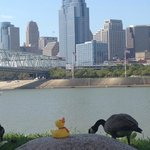 Our duck with his peeps at the Ohio River