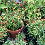 Chillis in the greenhouse