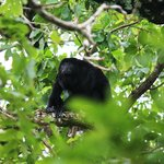 Howler Monkey in tree near dining room