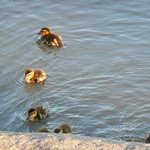 Baby duckies in the lake.