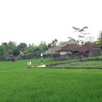 Rice field near Frangipani--have to walk pass on the way in-out