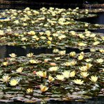 Lilies in the small lake