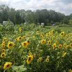 Sunflowers by the thousands at Pegasus Farms